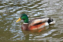 Male of wild duck, lat.  Anas platyrhynchos, in the river. Beautiful colorful drake swimming in the river Stock Image