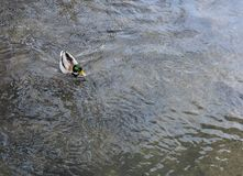 Male wild duck - mallard anas platyrhynchos swimming in the river. - image royalty free stock photo