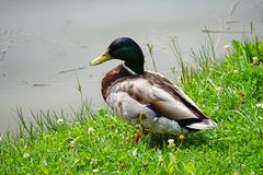 Male wild duck next to a pond. In summer Royalty Free Stock Photo