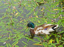 Male wild duck relaxing in the lake covered with fallen green leaves. And little flowers Stock Photo