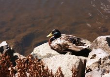 Male wild duck Royalty Free Stock Photography