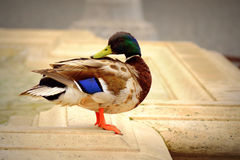 Male wild duck. Standing at fountain in st peter`s square Vatican,Rome looking directly into the camera.The mallard or wild duck Anas platyrhynchos is a Stock Images