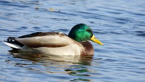 Male wild duck. On the water on a sunny autumn day Stock Photo