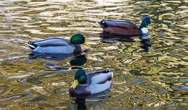 Male wild duck on the water. On a sunny autumn day Royalty Free Stock Photos