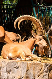 Male of wild goat. Chilling in the zoo Royalty Free Stock Photos