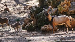 A male wild goat. Walking by the rocks stock video footage