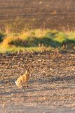 Male wild hare on the morning field Stock Photo
