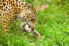 Male Wild Jaguar Cat Royalty Free Stock Images