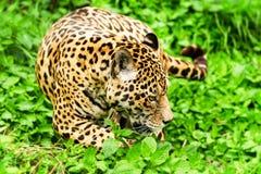 Male Wild Jaguar Cat Stock Photography