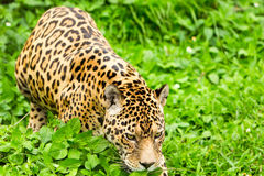 Male Wild Jaguar Cat. Large Male Jaguar In The Wild Shoot In The Ecuadorian Tropical Forest From Close Range Royalty Free Stock Photos