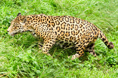 Male Wild Jaguar Cat. Large Male Jaguar In The Wild Shoot In The Ecuadorian Tropical Forest From Close Range Royalty Free Stock Image