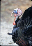Male Wild Turkey. Portrait shot of old  male wild turkey.  Connetquot River State Park, Oakdale, New York Stock Photo