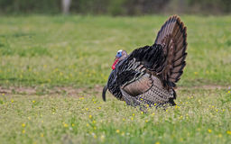 Male wild turkey shows off his feathered display. Wild Turkey displaying in green grass Stock Photography