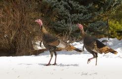 Wild turkey. Male Wild Turkey in the snow Royalty Free Stock Photos