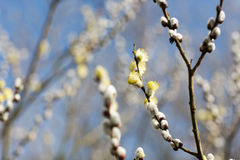 Male willow catkins against a blurry background. Stock Photo