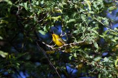 Male Wilson`s Warbler in a honey mesquite tree at dawn in Dead Horse Ranch State Park in Arizona. A male Wilson`s Warbler rests in a flowering Honey Locust tree Stock Photos