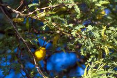 Male Wilson`s Warbler in a honey mesquite tree at dawn in Dead Horse Ranch State Park in Arizona. A male Wilson`s Warbler rests in a flowering Honey Locust tree Stock Photography