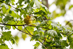 Male Wilson`s Warbler Stock Image