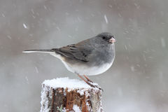 Male Winter Junco. A snowbird or dark-eyed Junco Junco hyemalis male perching on a snowy winter day Stock Images