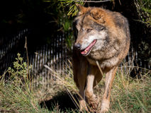 Male wolf moving around a farm. Male iberian wolf (Canis lupus signatus) moving around a farm Stock Photography