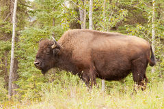 Male wood buffalo Bison bison athabascae grazing Stock Images