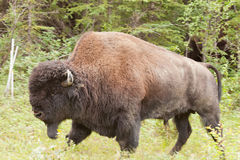 Male wood buffalo Bison bison athabascae walking Royalty Free Stock Photos