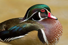Male Wood Duck Royalty Free Stock Images