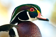 Male Wood Duck. Closeup Profile Protrait of Male Wood Duck Royalty Free Stock Photo