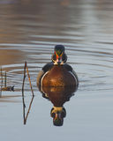 Male Wood Duck. A male Wood Duck in the early morning light Royalty Free Stock Photo