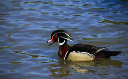 Male Wood Duck Stock Photos