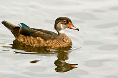 Male Wood Duck. Adult Male Wood Duck In Non-Breeding Plumage Swimming In Calm Water Stock Photo