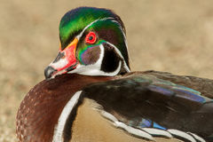 Male Wood Duck. Close Up Profile Portrait of Male Wood Duck Highlighting Iridescent Colors Stock Image