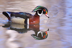 Male Wood Duck. Wood ducks are early migrants. They found in all flyways, in Canada, most numerous in Ontario and Québec. This photo was taken in a small pond Stock Photography
