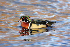 Male Wood Duck (aix sponsa). Swimming in blue water Stock Photos