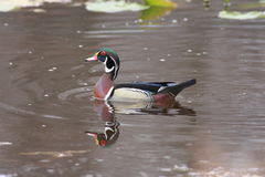 Male Wood Duck aix sponsa. Swimming in blue water Royalty Free Stock Images
