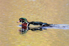 Male Wood Duck (aix sponsa). Swimming in colorful golden water Royalty Free Stock Photography