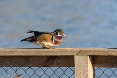 Male Wood Duck. A male Wood Duck at BC Canada Royalty Free Stock Image