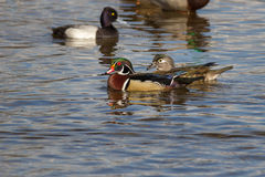 Male wood duck. Beautifull male wood duck on the water in a lake with other birds Royalty Free Stock Photography