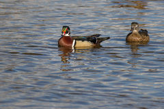 Male wood duck. Beautifull male wood duck on the water in a lake with other birds Royalty Free Stock Photo