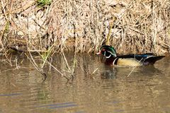 Striking male Wood Duck swims in a creek in early spring. Male Wood Duck in breeding plumage swims in the marsh at Bosque del Apache National Wildlife Refuge in Royalty Free Stock Images
