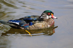 Male wood duck. British Columbia, Canada Stock Photo