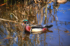 Male Wood Duck. Or Carolina Duck (Aix sponsa) is a species of duck found in North America. It is one of the most colorful of North American waterfowl Stock Image