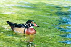 Male Wood Duck. Or Carolina Duck Aix sponsa, Wild duck was introduced as a pet is a colorful floating on the surface of the clear water happily stock photos