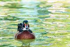 Male Wood Duck. Or Carolina Duck Aix sponsa, Wild duck was introduced as a pet is a colorful floating on the surface of the clear water happily stock images