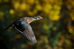 Male Wood Duck or Carolina Duck in flight Stock Photos