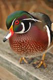 Male wood duck close-up Royalty Free Stock Photo