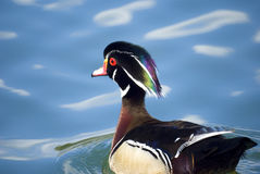 Male wood duck Royalty Free Stock Photography