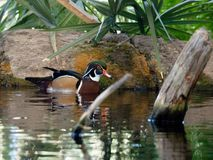 Male wood duck in pond. A male wood duck cruises the calm waters of the pond in Wilmington, North Carolina Stock Image