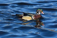 Male Wood Duck Drake. Swimming in blue water of lake Royalty Free Stock Images