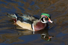 Male Wood Duck Drake. Swimming on lake with autumn reflections Royalty Free Stock Photography